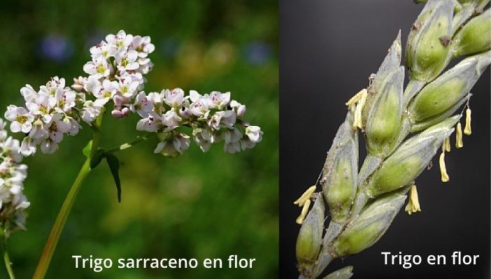 Flor de trigo y flor de trigo sarraceno.